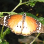 Butterfly safaris